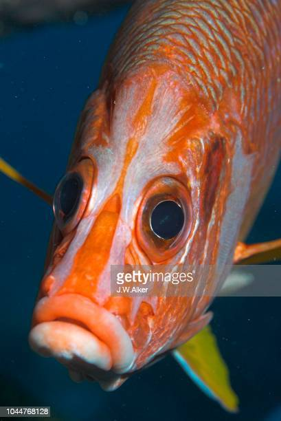 giant squirrelfish (sargocentron spiniferum), maldives - squirrel fish stock photos and pictures