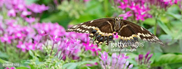 Giant Swallowtail Butterfly in Flight