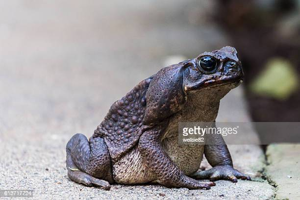 giant toad - cane toad stock pictures, royalty-free photos & images