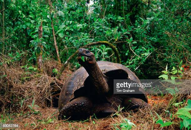 Giant tortoise feeding on leaves on the Galapagos Islands.