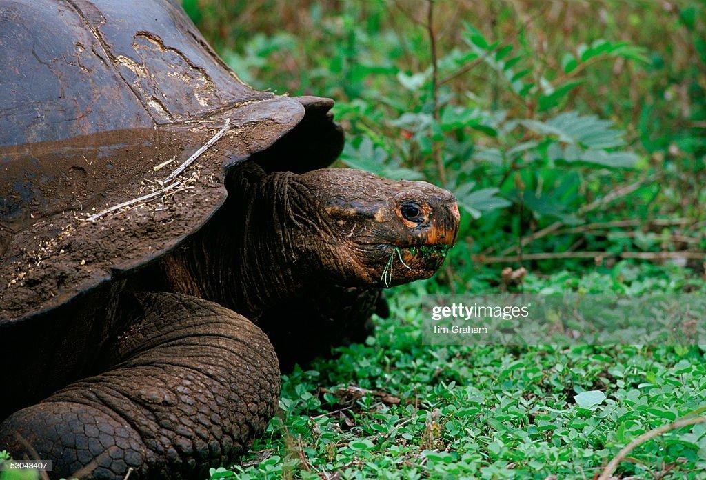 Giant Tortoise, Galapagos Isles : News Photo