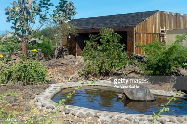Giant tortoise in a pond at the Charles Darwin Research Station in Puerto Ayora on Santa Cruz Island in the Galapagos Islands Ecuador