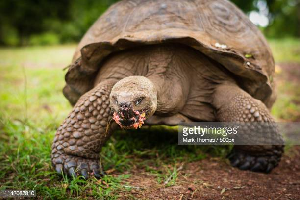 giant tortoise in the galapagos - puerto ayora stock pictures, royalty-free photos & images