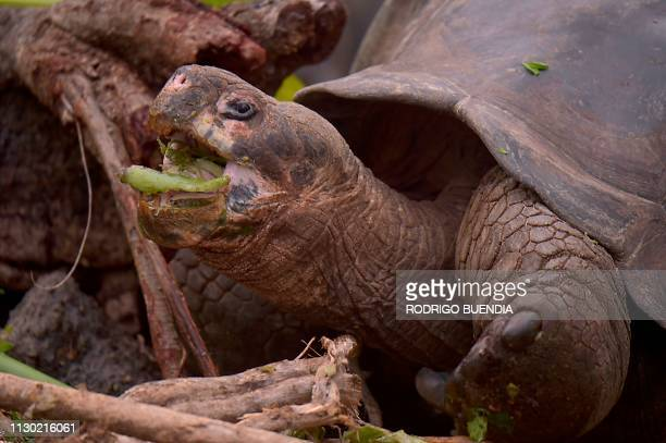 Giant tortoise of Chelonoidis hoodensis subspecies from Espanola Island, is pictured at a breeding centre at the Galapagos National Park on Santa...