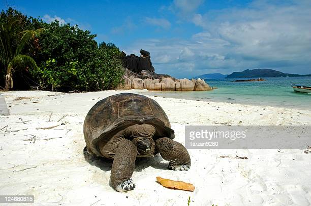giant tortoise on beach - seychelles stock pictures, royalty-free photos & images