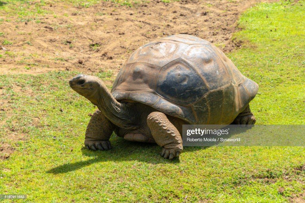 Giant tortoise, Pamplemousses Botanical Garden, Mauritius : Stock Photo