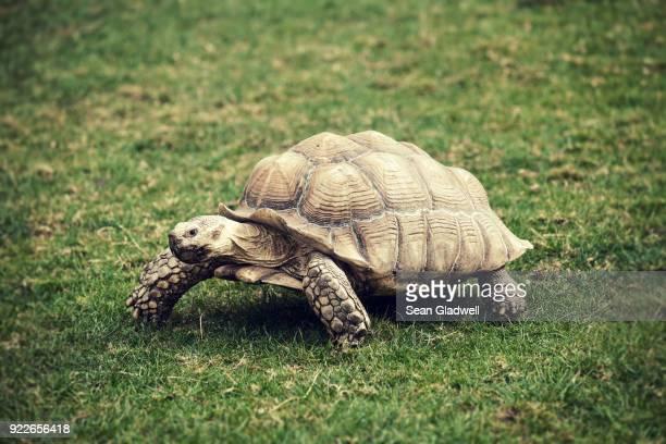 giant tortoise - tortue photos et images de collection