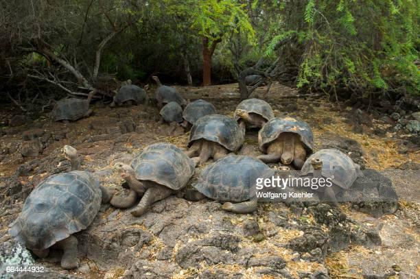Giant tortoises at the Charles Darwin Research Station in Puerto Ayora on Santa Cruz Island in the Galapagos Islands Ecuador