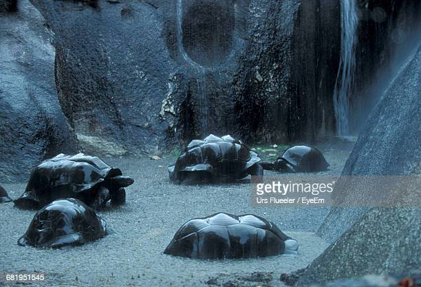 Giant Tortoises In Lake During Rainy Season