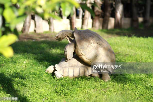 giant tortoises mating on field - begattung kopulation paarung stock-fotos und bilder