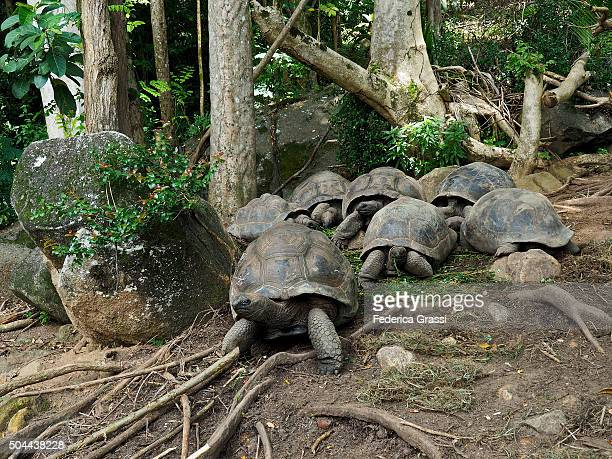 Giant Tortoises of the Seychelles at Cerf Island