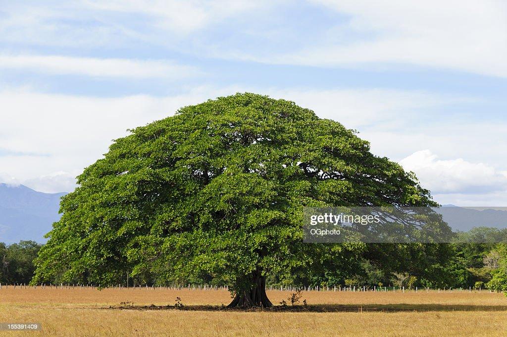 Giant tree in empty field, Guanacaste, Costa Rica : Stockfoto