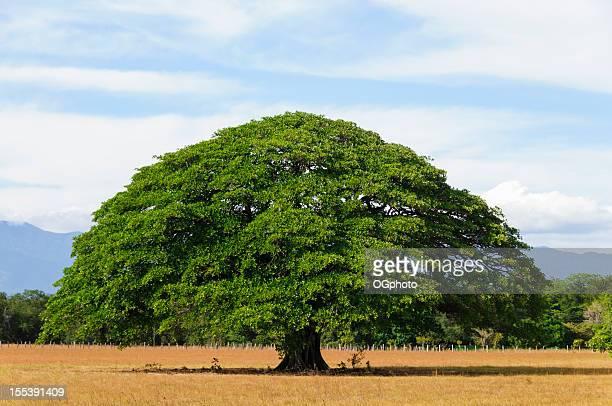 Giant tree in empty field, Guanacaste, Costa Rica