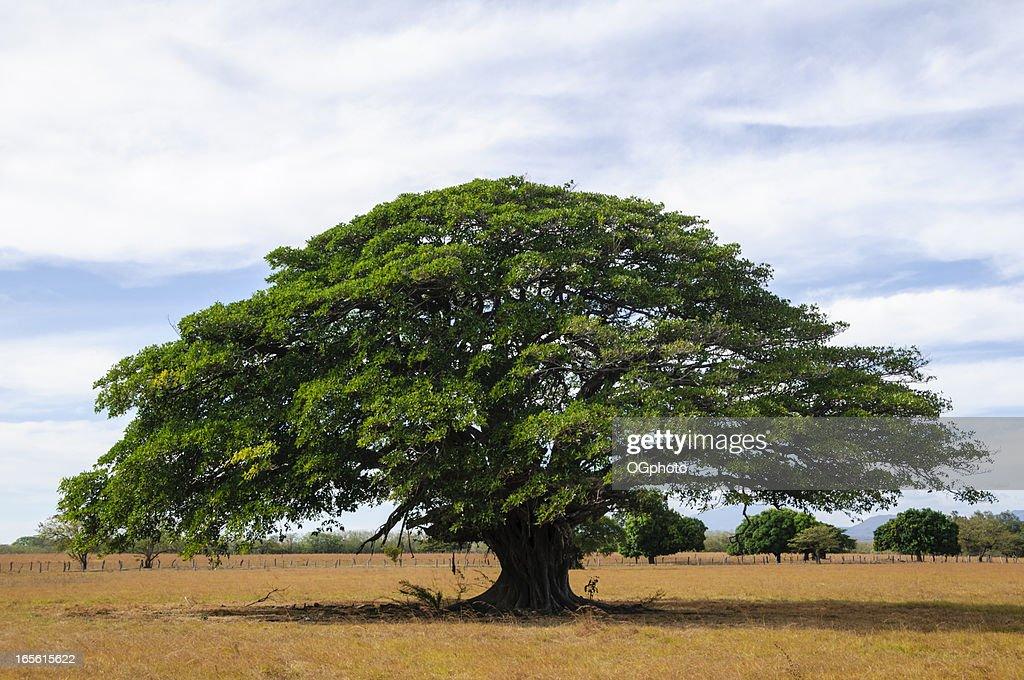 Grand arbre dans champ vide, Guanacaste, au Costa Rica : Photo