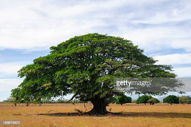 giant tree in empty field, guanacaste, costa rica - guanacaste stock pictures, royalty-free photos & images