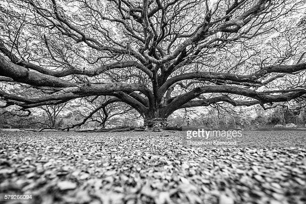 big jamjuree, giant tree kanchanaburi - tree roots stock pictures, royalty-free photos & images