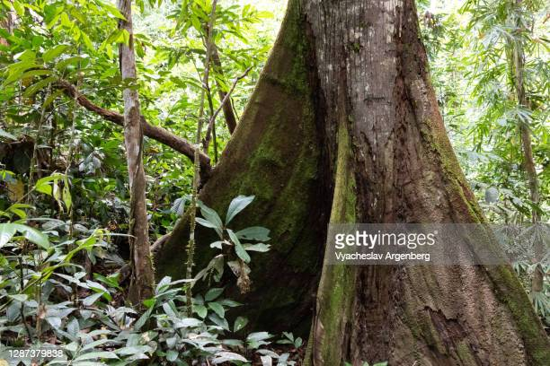 giant tree root in borneo tropical rainforest, malaysia - argenberg stock pictures, royalty-free photos & images
