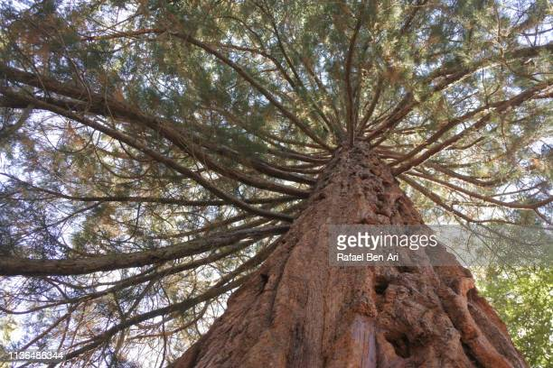 giant tree trunk - rafael ben ari stock pictures, royalty-free photos & images