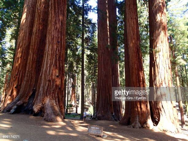 Giant Trees At Sequoias National Park