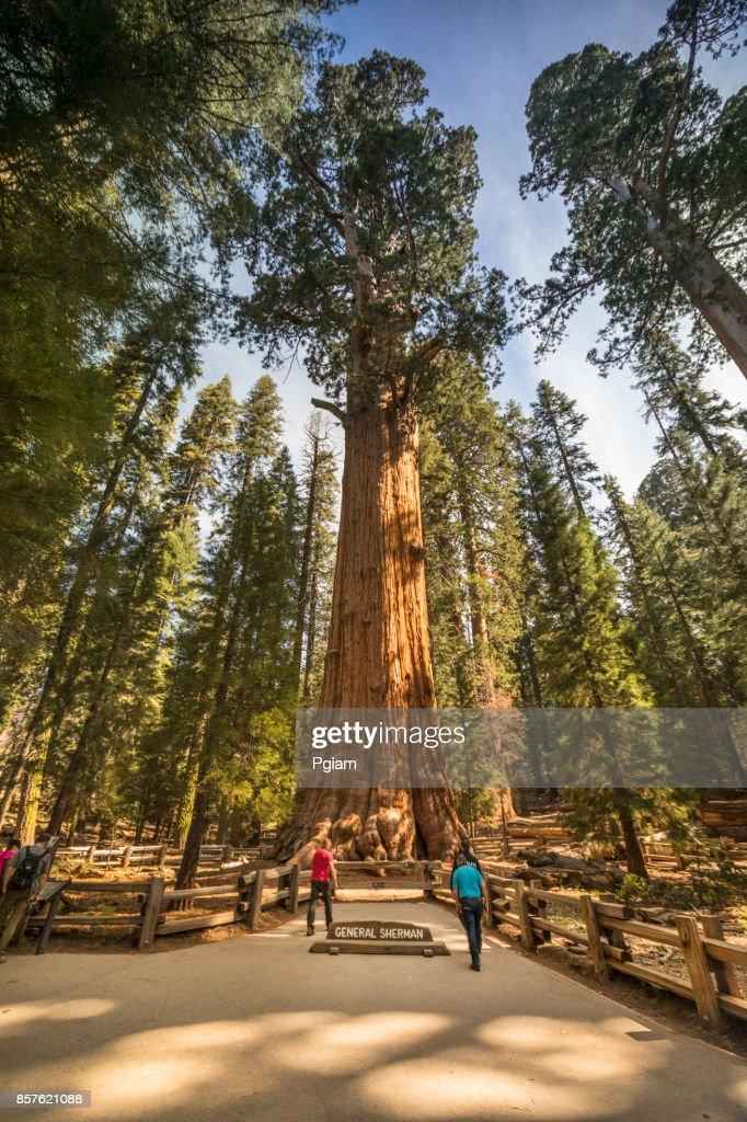 Giant trees in Sequoia National Park California USA : Stock Photo