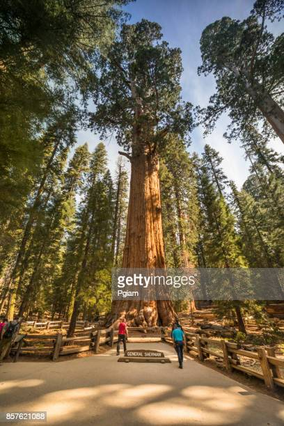giant trees in sequoia national park california usa - general sherman stock photos and pictures