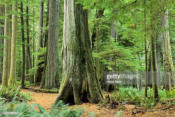 Giant trees in the cold Cathedral Grove rain forest, Macmillan Provincial Park by Port Alberni, Vancouver Island, British Columbia, Canada, North America
