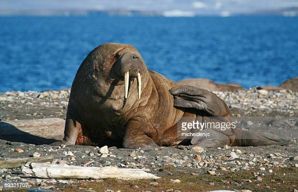 giant walrus - walrus stock photos and pictures