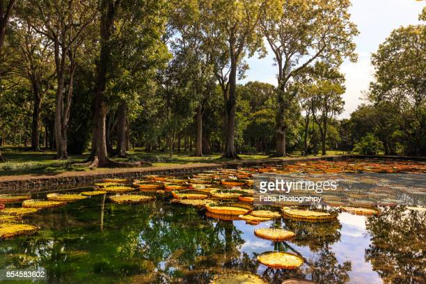 giant water lillies in the botanical garden in mauritius - botanical garden stock pictures, royalty-free photos & images