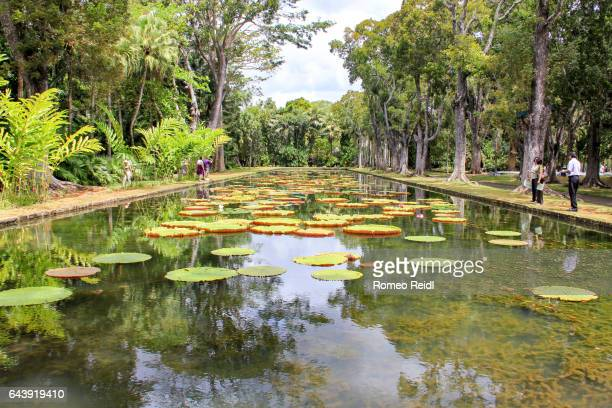 giant water lillies in the sir seewoosagur ramgoolam botanical garden in mauritius - botanical garden stock pictures, royalty-free photos & images