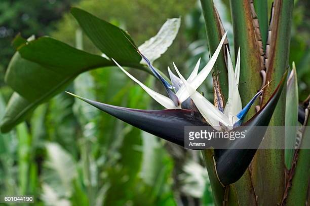 Bird of paradise plant stock photos and pictures getty images giant white bird of paradise wild banana in flower native to south africa mightylinksfo