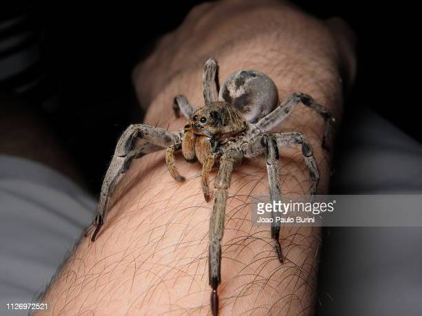 giant wolf spider on human arm - big bad wolf photos et images de collection