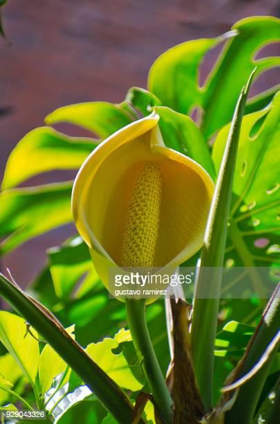 giant yellow flower in botanical garden