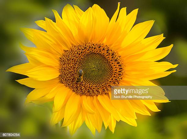giant yellow sunflower in full bloom - giant hogweed stock pictures, royalty-free photos & images