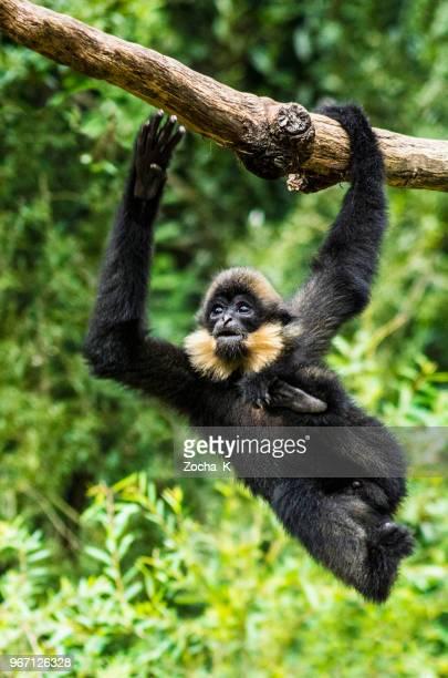 gibbon acrobat - fast moving monkey - monkey stock pictures, royalty-free photos & images