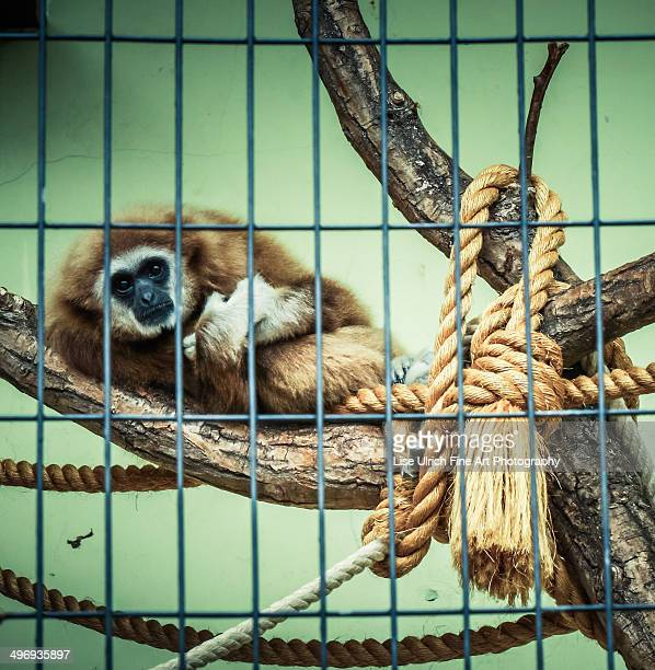 gibbon monkey in cage - lise ulrich stock pictures, royalty-free photos & images