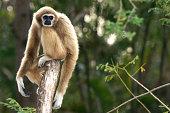 Gibbon sitting alone on the wood