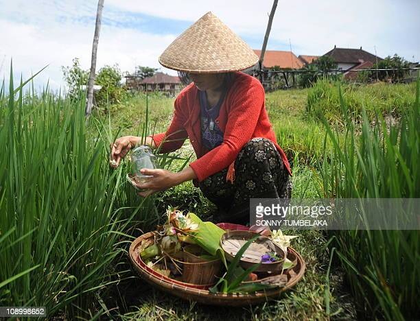 GIBSONIn this photograph taken on February 2 a Balinese woman gives prayers and an offering in her rice field while construction of private villas...
