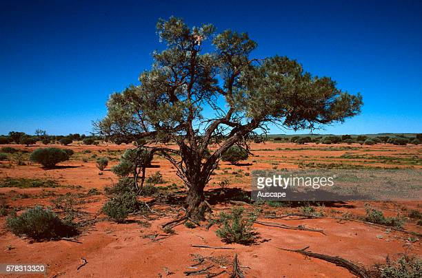 Gidgee Acacia cambagei isolated tree on a plain Sturt National Park far western New South Wales Australia