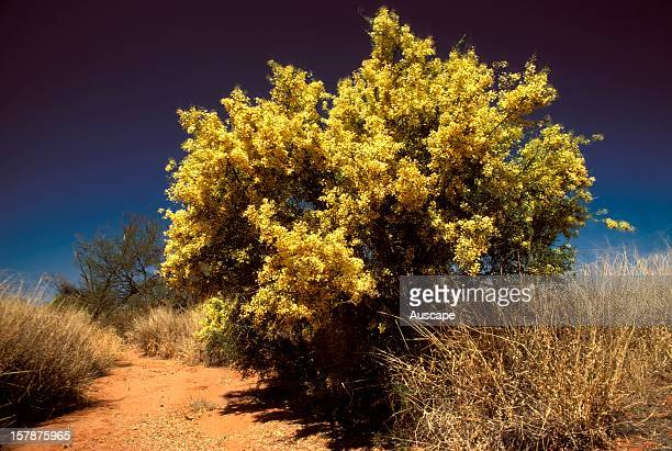 Gidgee in full flower Near Oodnadatta South Australia