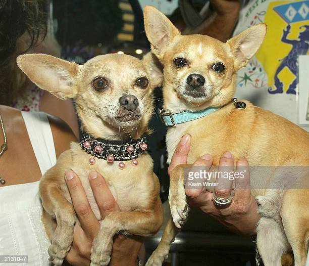 Gidget The Taco Bell dog and Moondoggie arrive at the screening of Legally Blonde 2 at the National Theater on July 1 2003 in Los Angeles California