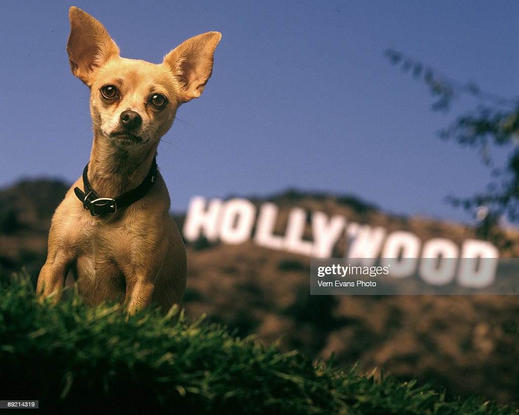 Gidget, Taco Bell Commercial Dog, Dies at 15 : News Photo