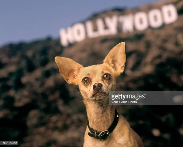 LOS ANGELES CA OCTOBER 1998 *EXCLUSIVE ACCESS* Gidget the Taco Bell dog during a photo session in October 1998 in Los Angeles California Gidget...