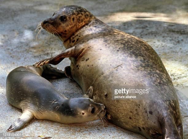 """Gierig saugt das knapp eine Woche alte Seehundbaby am 2.8.1999 im Tierpark Nordhorn die besonders fette Muttermilch der Seehündin """"Rita""""...."""