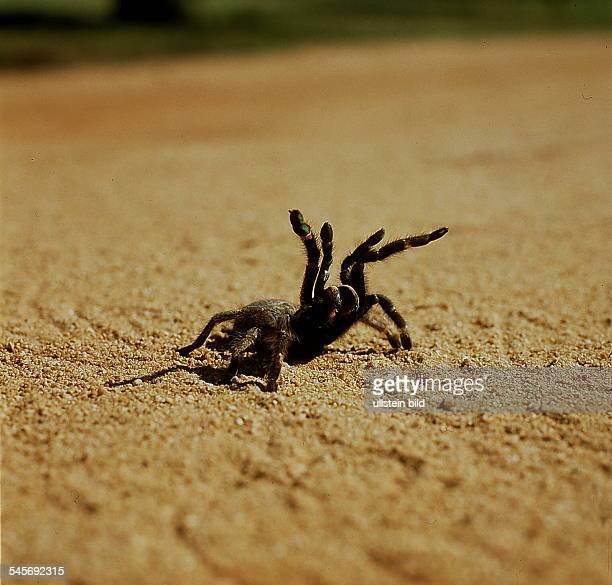 Giftspinne in Angriffshaltung - KrügerNational Park, Republik Südafrika- 1993