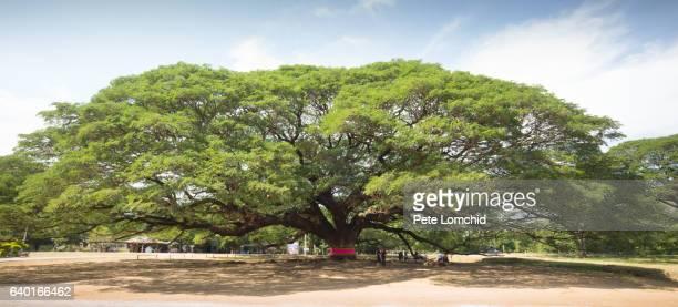 gigantic tree thailand