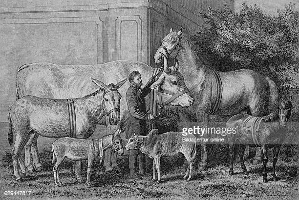 Gigantism and dwarfism in farm animals historical engraving 1883