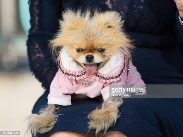 Giggy Lisa Vanderpump's dog is seen at 'Extra' at Universal Studios Hollywood on December 13 2017 in Universal City California