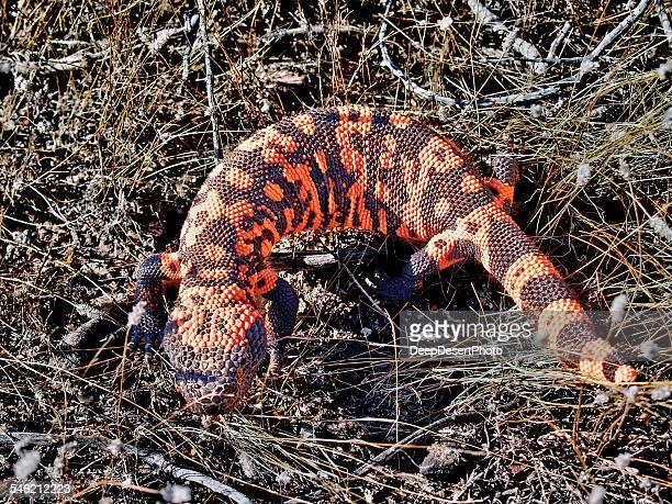 Gila Monster, Arizona, america, USA
