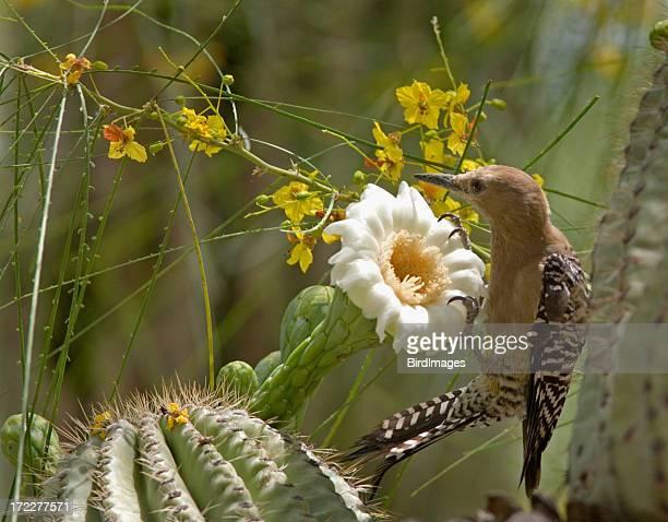 Gila-Specht & Cactus Bloom