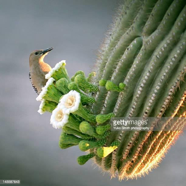 gila woodpecker - arizona bird stock pictures, royalty-free photos & images